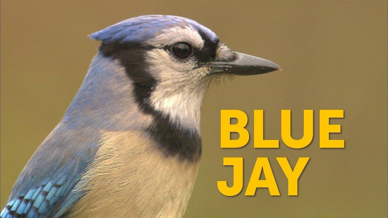 Blue Jay Youtube