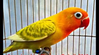 Suara Lovebird Masteran Terbaik 2015 HD