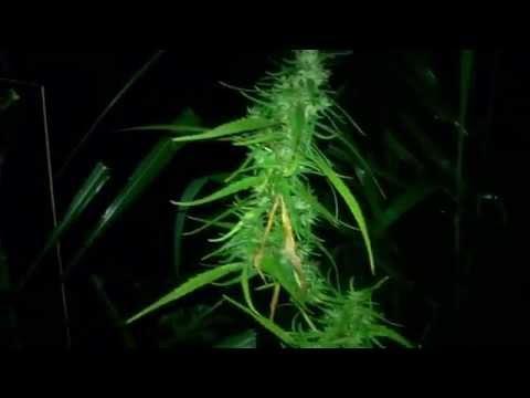 cultivo maconha (cannabis sativa) - prensado