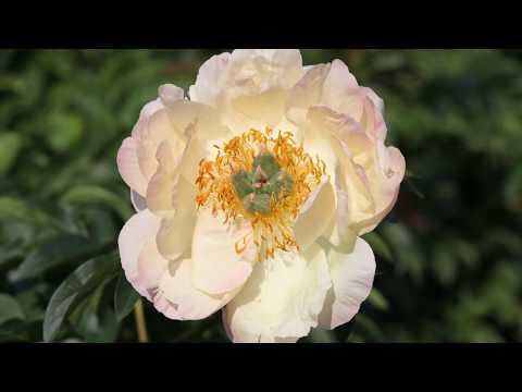 My Peony Society - Designed by nature, perfected by us