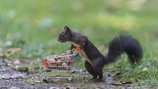Animal Pushes Shopping Trolley Full Of Nuts Along Path Before Stopping For A Drink