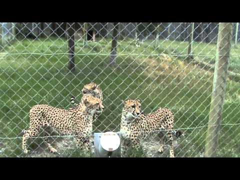 Cheetahs Meowing like Kitty Cats at Orana Wildlife Park in Christchurch, New Zealand