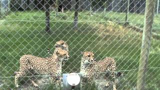 Cheetahs Meowing like Kitty Cats at Orana Wildlife Park in Christchurch, New Zealand mp3