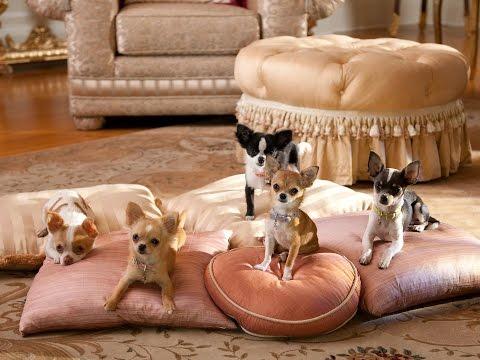 Chihuahua - DOG LOVERS ❤