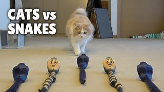 Cats vs Snakes | Kittisaurus
