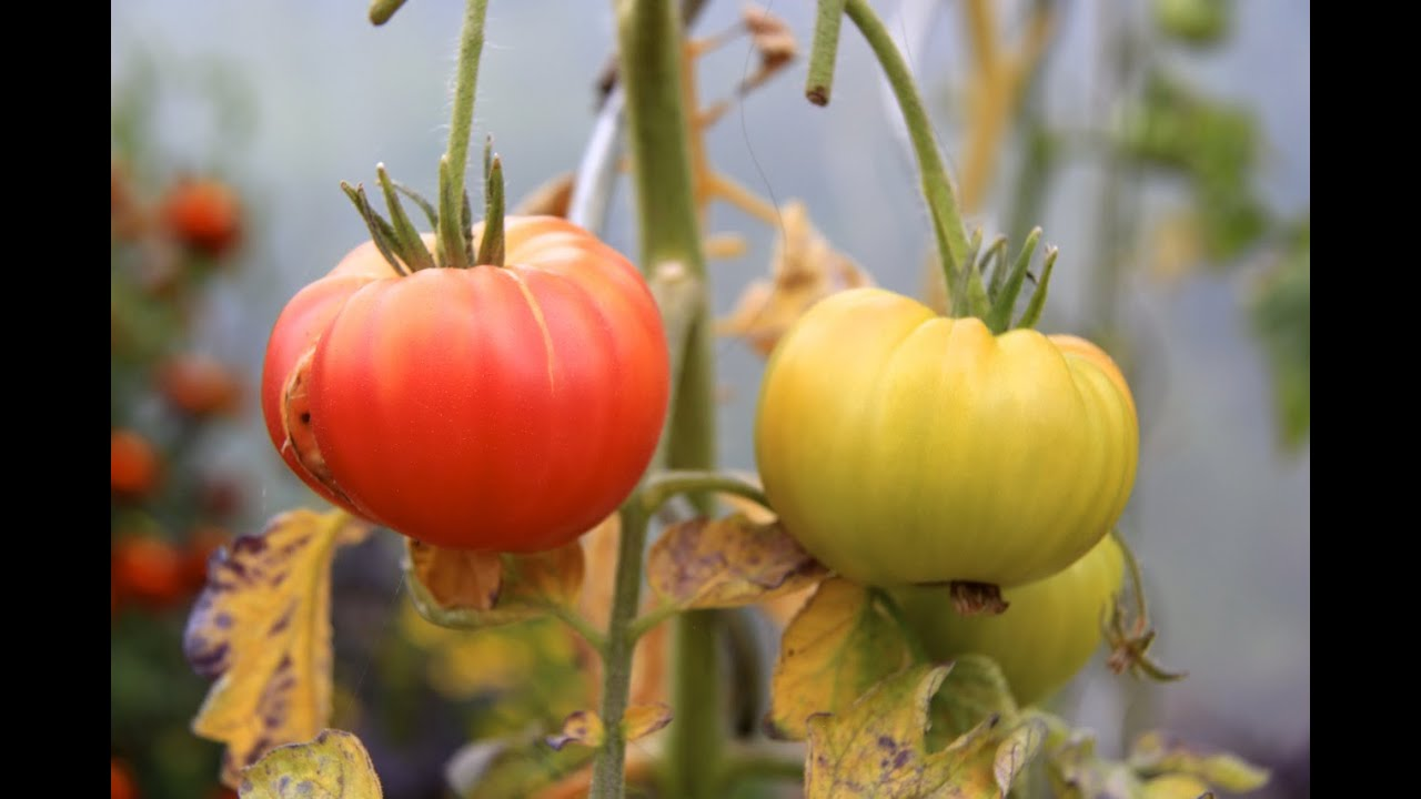 5 tomatenkrankheiten aufgeplatzte fr chte. Black Bedroom Furniture Sets. Home Design Ideas