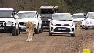 Watch - Cars Stalking Lions