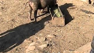 пьяная свинья.AVI