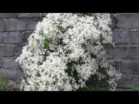 Клематис Ломонос - волшебная лиана для садов Сибири