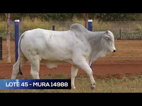 LOTE 45 - MURA 14988 - NELORE