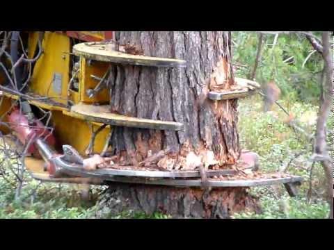 CAT excavator cut pine trees 1
