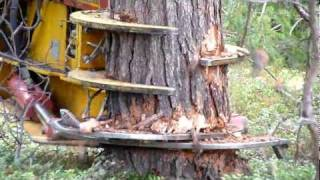CAT excavator cut pine trees 1