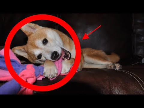 how-to-stop-puppy-chewing-furniture,-shoes-&-clothes?