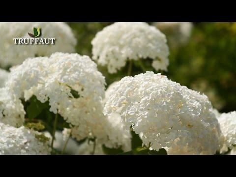 Comment bouturer un hortensia jardinerie truffaut tv youtube - Comment bouturer un hortensia ...