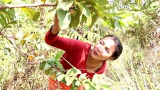 Survival skills: Finding meet natural guava fruit for eat - Guava nature fruit eating delicious #53