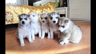 Вязка хаски| Вязка собак первый раз| Подготовка| Щенки хаски
