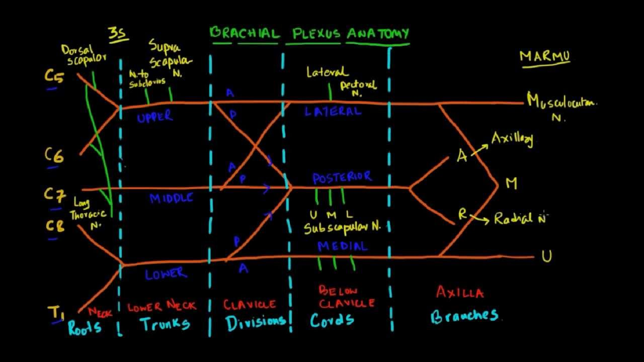 Nugget 7: Draw Brachial Plexus, the easy way! - YouTube