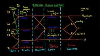 Nugget 7: Draw Brachial Plexus, the easy way!