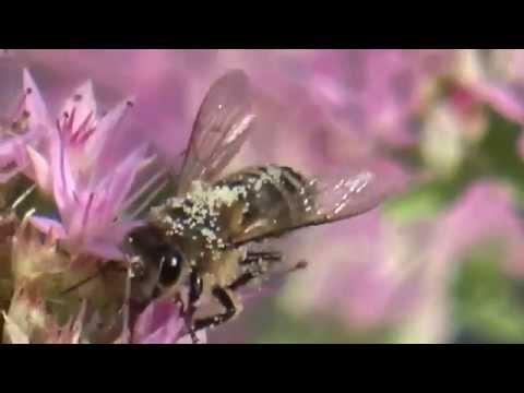 Honeybee with pollen stamens (Apis mellifera) דבורת דבש עם אבקנים