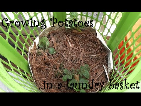Growing Potatoes in a Laundry basket Review, gardening hacks