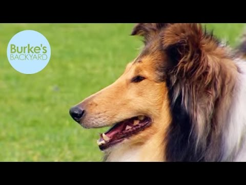 Burkes Backyard Dogs burke's backyard, collie dog road test - youtube