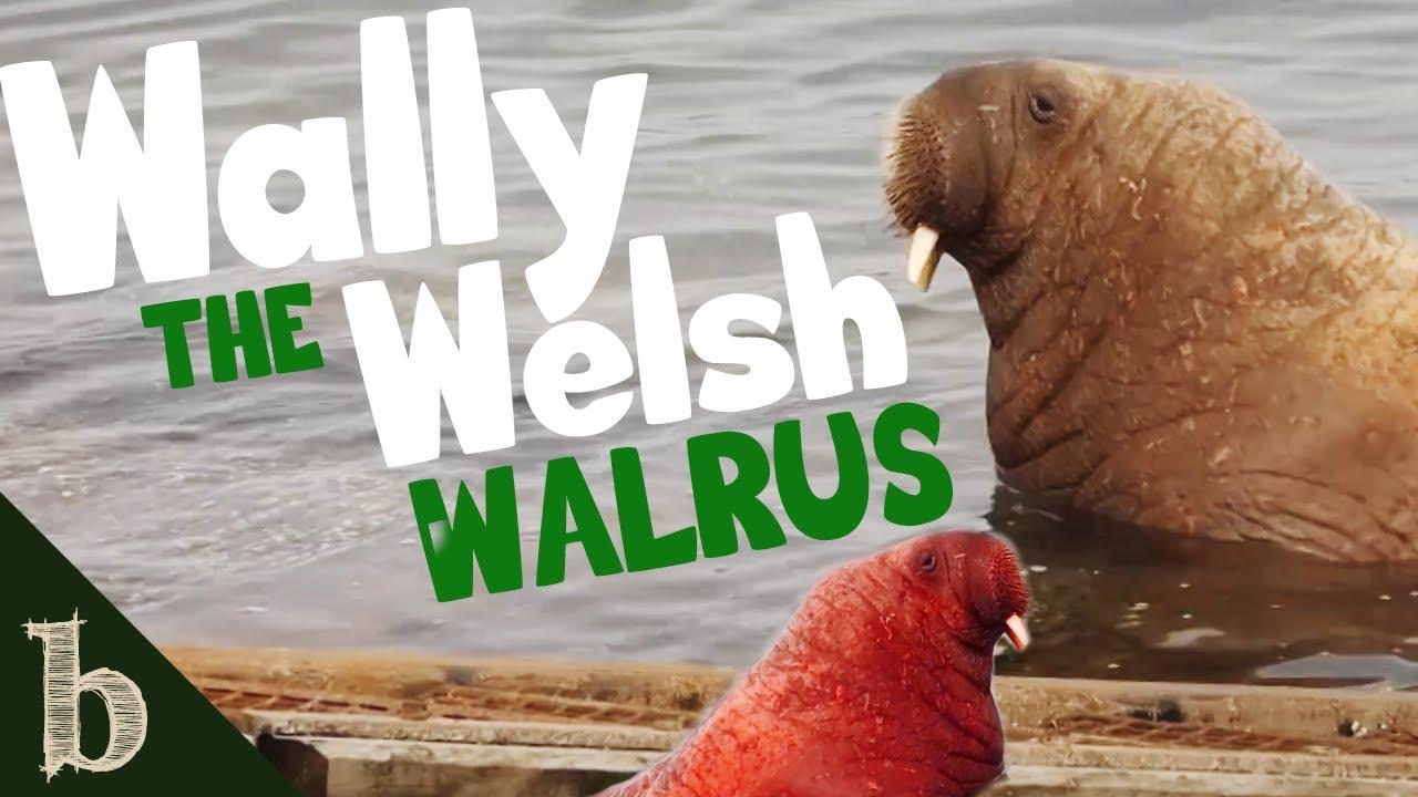 Wally The Walrus   Short Wildlife Documentary