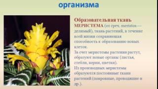 Ткани растений презентация