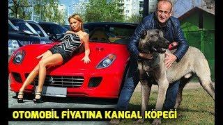 Gambar cover Otomobil fiyatına Kangal köpeği