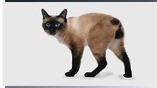 Меконгские бобтейлы = тайские бобтейлы, бесхвостая порода кошек.