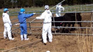 福島第一原発20km圏内の牛の殺処分