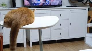[동물농장우리집] #tv보는고양이 #불후의명곡 #cat #catlover