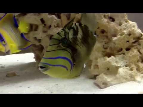 Queen Triggerfish Aquarium