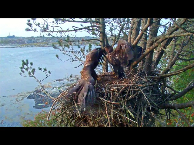 Young Eagles fight over who gets to sleep at home.