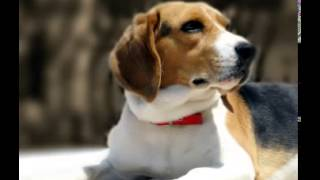 Beagle Facts   Facts About Beagles