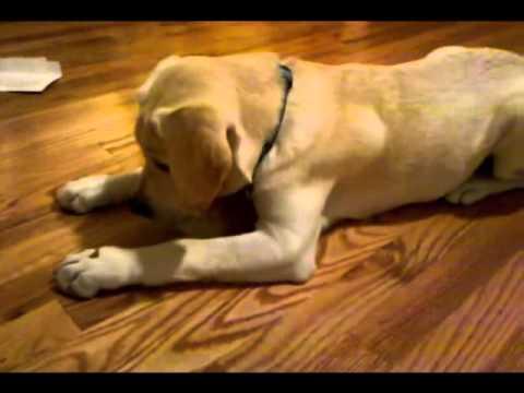 AMAZING!!! Lablador Retriever Puppy Dog Training Tricks