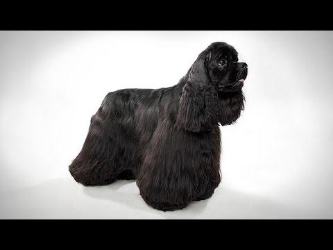 Cocker spaniel - Black Colour