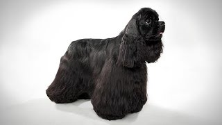 Cocker Spaniel - Black Colour