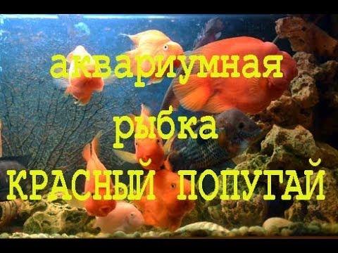 Аквариумная рыбка Красный попугай, aquarium fish red parrot
