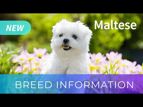 Maltese | Dog Breed Information