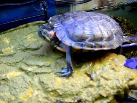 16 years old turtle - Trachemys Scripta Elegans 2