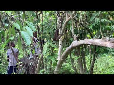 Ambanja Panther Chameleon in a Vanilla Plantation