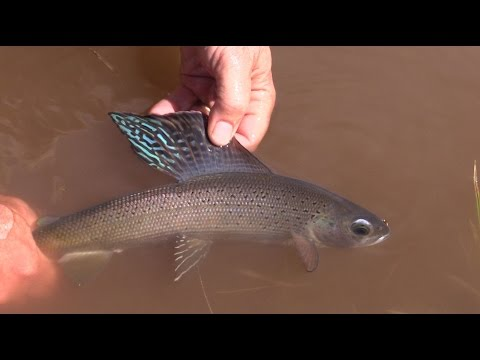 Fishing For Grayling And Big Brook Trout On Boulder Mountain