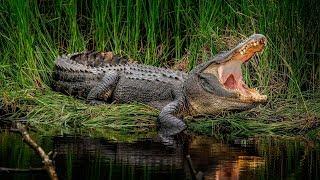 Дикие животные. Африка. Нильский крокодил. Документальный фильм National Geographic.
