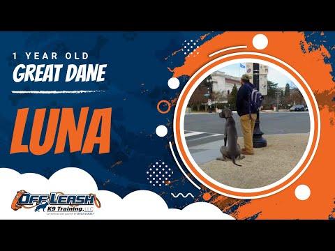 1-Year Old Great Dane, Luna | Great Dane Dog Training | Off Leash K9 Training
