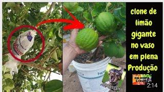 A Melhor Técnica para ter Limão Gigante em Vasos