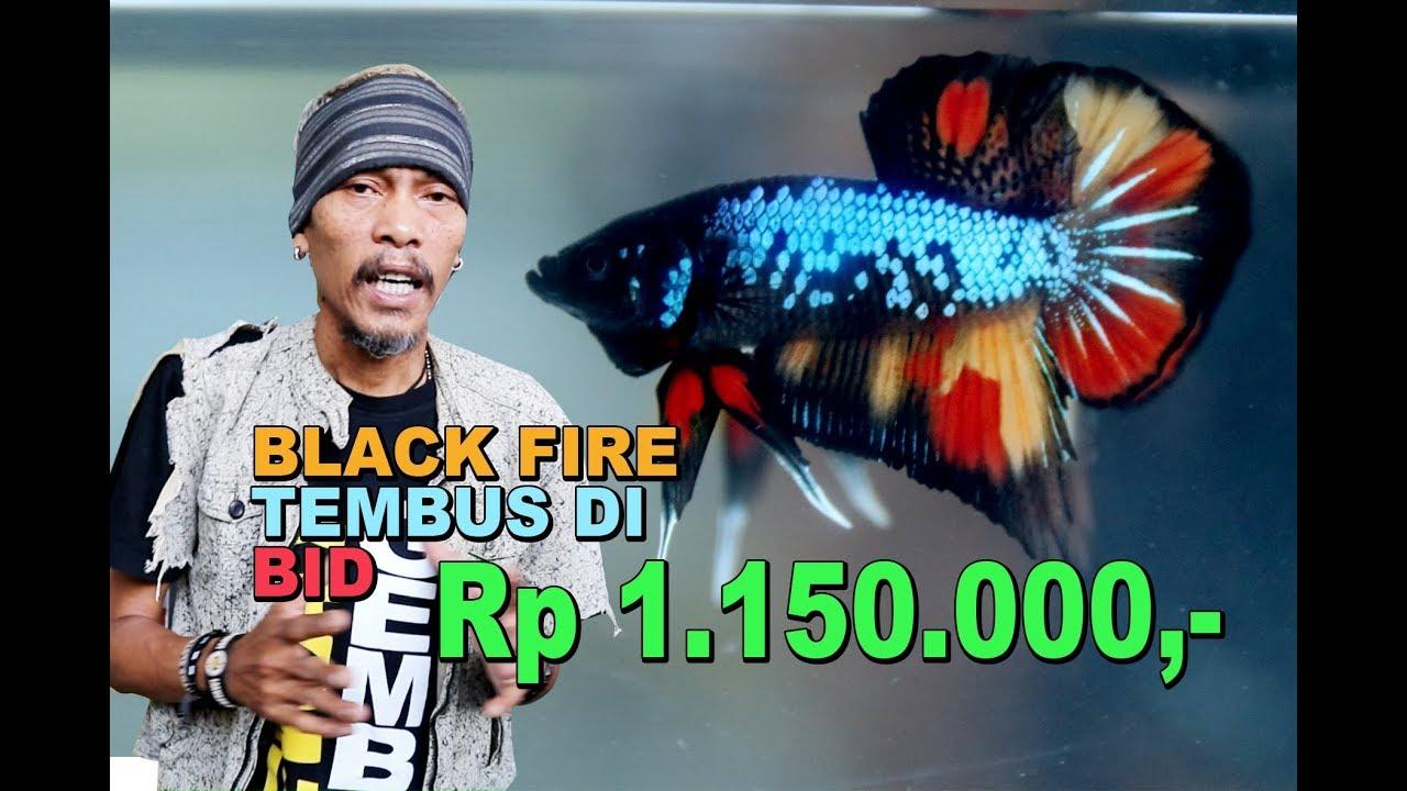 Ikan Cupang Tembus Harga Rp 1 150 000 Black Fire Youtube
