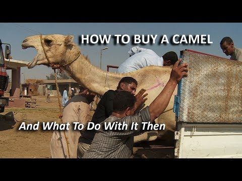 CAIRO: How To Buy A Camel (And What To Do With It Then)
