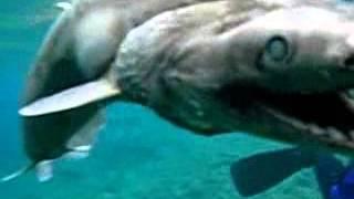 Choc: Un requin préhistorique retrouvé au japon