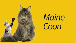 10 Maine Coon Cat Facts—This cat is SO BIG!