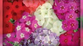 видео Флокс Друммонда (37 фото): выращивание из семян, однолетние цветы микс, посадка, уход, как сажать в домашних условиях